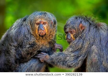 Iki monkeys rainforest örnek ağaç doğa Stok fotoğraf © colematt