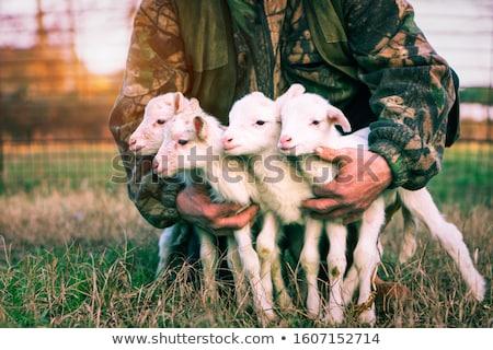 Four lambs on the farm Stock photo © colematt