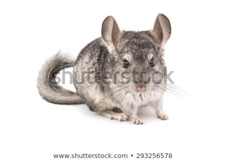Chinchilla blanche cute gris permanent côté Photo stock © CatchyImages
