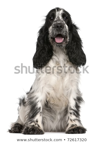 Studio shot of two adorable English Cocker Spaniel Stock photo © vauvau