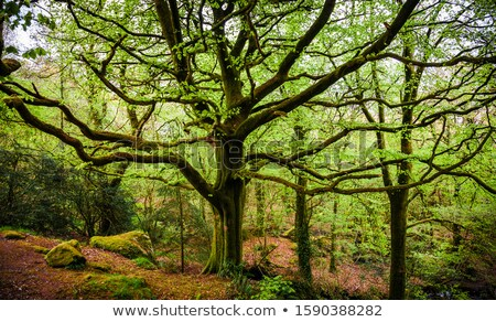 Groot oude boom mos verhaal bos Stockfoto © tilo