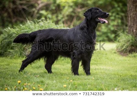 retriever · witte · hond · achtergrond · dier · witte · achtergrond - stockfoto © eriklam