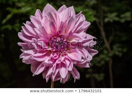 roze · dahlia · natuur · licht · tuin - stockfoto © julietphotography