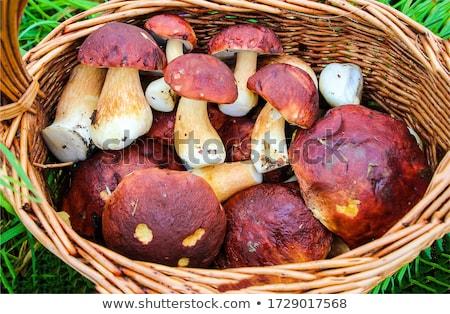 ヤマドリタケ属の食菌 · 森林 · グループ · 秋 · 工場 - ストックフォト © stocksnapper