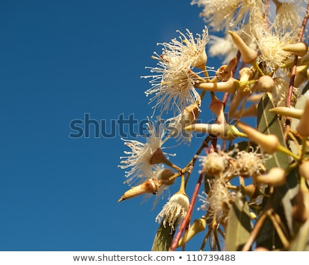 Eucalyptus tereticornis white flowers and buds Stock photo © byjenjen