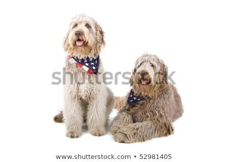 два · австралийский · собаки · изолированный · белый · собака - Сток-фото © eriklam