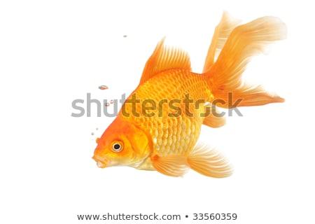 One fantail goldfish Stock photo © jarenwicklund