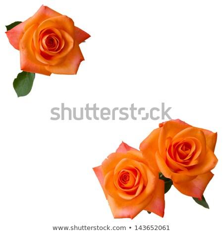 three orange roses stock photo © neirfy