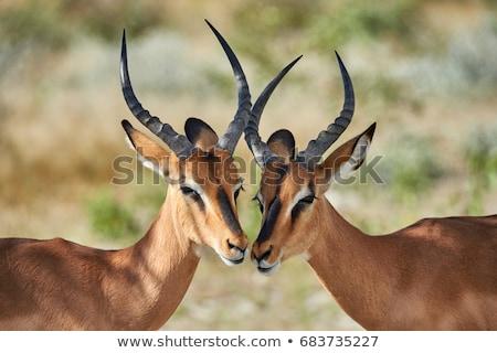 Male black-faced impala Stock photo © TanArt