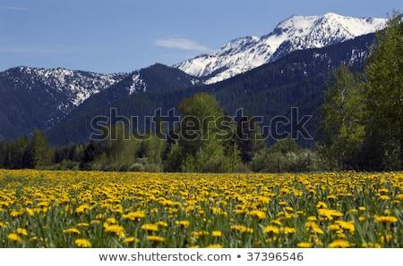 Fleur jaune ferme neige montagne campagne Montana Photo stock © billperry