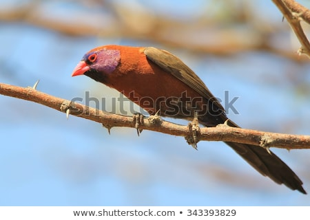 Violet-eared Waxbill - Wild Bird Background from Africa. stock photo © Livingwild