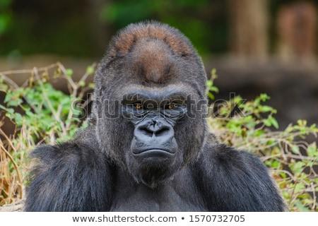goril · maymun · portre · insan - stok fotoğraf © tungphoto