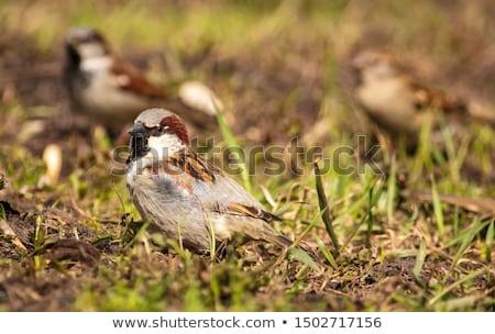 Pardal terreno casa pássaro animal sessão Foto stock © bdspn