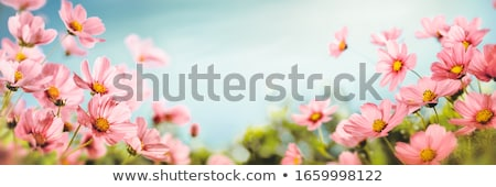 Beautiful landscaped summer garden, cosmos, flowers Stock photo © Julietphotography