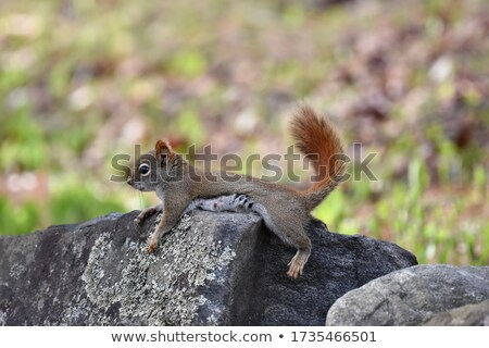 North American red squirrel Stock photo © nialat