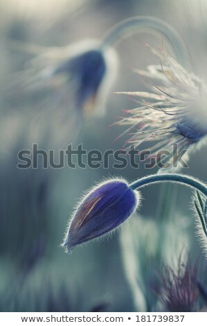 Violet flowers on the backlight Stock photo © entazist