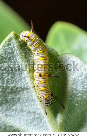 Caterpillar on a Calotropis Stock photo © Yongkiet
