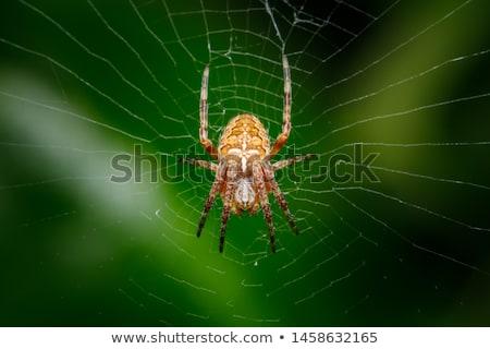 Spin spinneweb kruipen web witte silhouet Stockfoto © mayboro1964