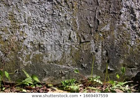 Dandelions at mossy stone wall Stock photo © olandsfokus