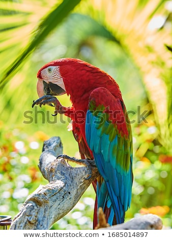 beautiful red and green macaw parrots Stock photo © ozaiachin