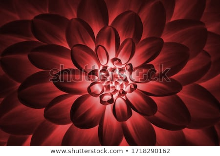 image of a close up of red dahlia flower stock photo © paha_l