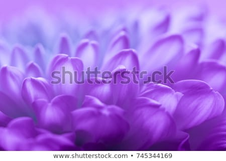 Piękna fioletowy kwiaty światło słoneczne ogród Zdjęcia stock © tang90246