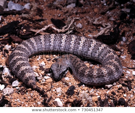 Death Adder Stock photo © bluering