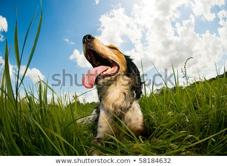 Tired dog panting Stock photo © bluering
