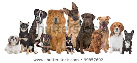 Shiba Inu dog in front of a white background Stock photo © eriklam