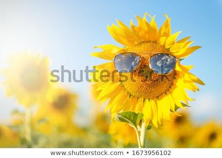 Sunflowers in sunlight Stock photo © Klinker