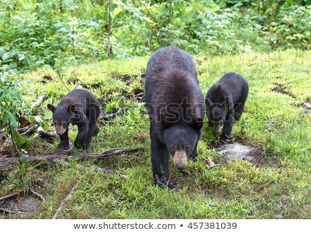 American black bear (Ursus americanus) Stock photo © lightpoet