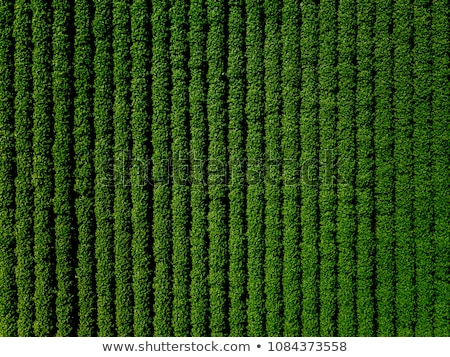aerial view of cultivated soybean field stock photo © stevanovicigor
