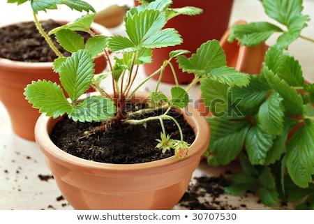 Genç çilek bitkiler hazır bahçe yeşil Stok fotoğraf © Virgin