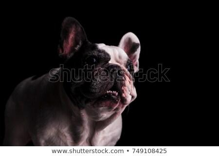 Curioso bulldog la boca abierta negro perro feliz Foto stock © feedough