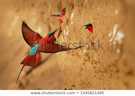 bee eater bird in south africa Stock photo © compuinfoto