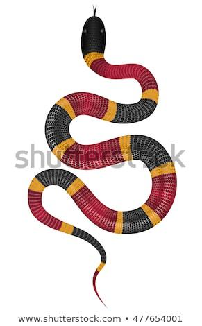 Coral snake vector illustration. Stock photo © YuriSchmidt