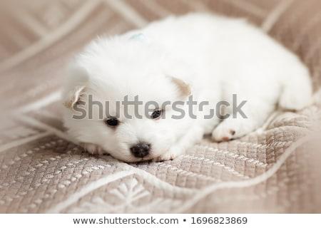 Beautiful Brown Fluffy Puppy Foto d'archivio © Len44ik