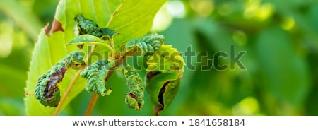 Dry Leaf and Ants in Nature Background Stock photo © bluering