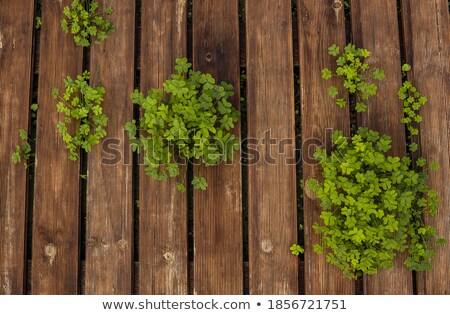 shamrock pattern on old green wooden boards Stock photo © dolgachov