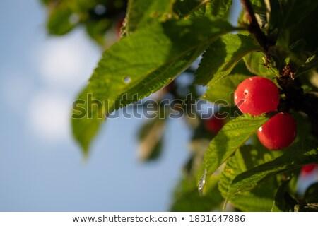 Congelada cereja inverno sazonal Foto stock © romvo
