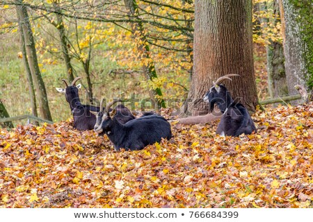 goats in autumn ambiance Stock photo © prill