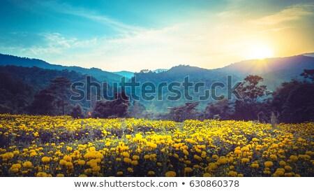 Foto stock: Mulher · flores · amarelas · campo · conteúdo · vestido · branco