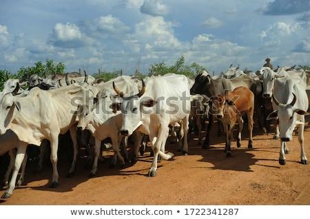 коров · высушите · области · небе · трава · пейзаж - Сток-фото © jkraft5