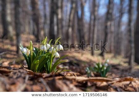 Primavera montagna primo fiori ultimo neve Foto d'archivio © Kotenko