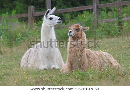 Llama Lying on Grass Stock photo © rhamm
