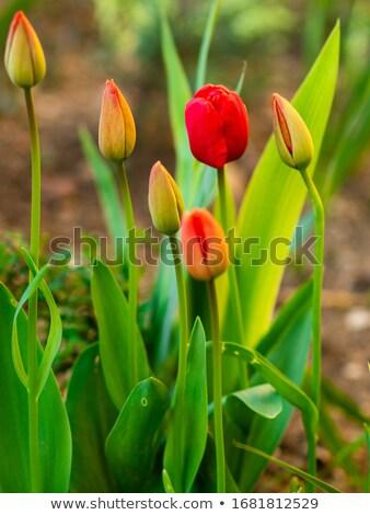 Taze lale yaz gün çiçekler mutlu Stok fotoğraf © OleksandrO