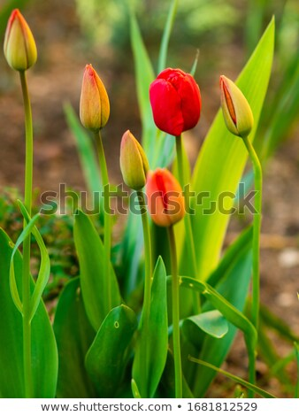 flores · flor · salud · planta · rosa · púrpura - foto stock © oleksandro