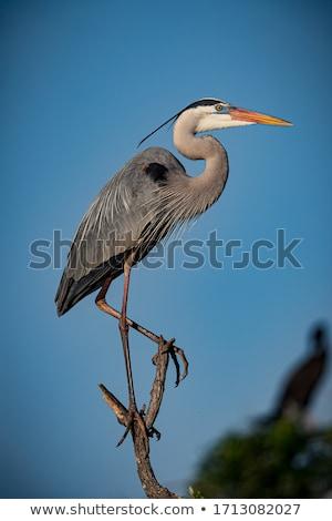 Muhteşem mavi balıkçıl ayakta bataklık su Stok fotoğraf © brm1949