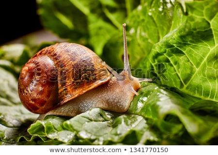 Snail on the stone stock photo © entazist