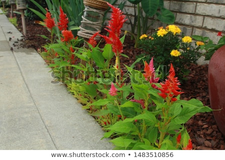 flor · belo · flor · amarela · lã · jardim · de · flores · jardim - foto stock © tang90246
